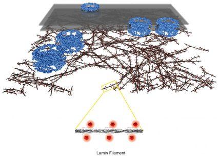 科学家首次解析出细胞核骨架(核纤层)的三维分子结构